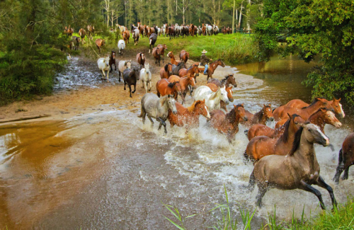 A Jackaroo musters his horses as they thunder through a creek.