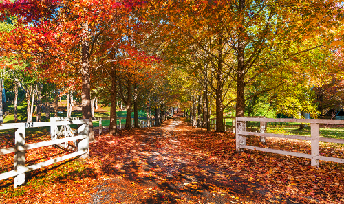 THe orange Autumn leaves lining a stunning driveway with a white picket fence
