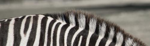 Zebra stripes, zebra mane