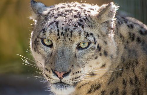 Big Cats, Snow Leopard, Mogo ZOOm