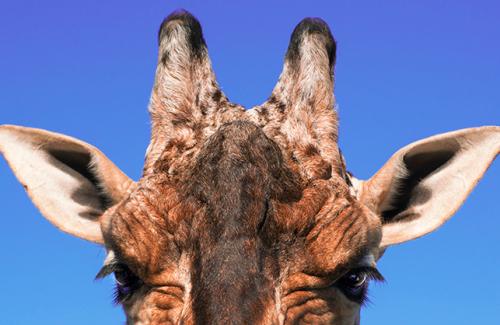 Mogo Zoo, Giraffe, Beck Dunn Photography, Africa, wildlife