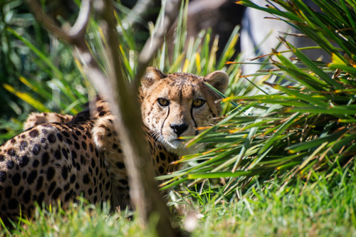 Cheetah, Big cat